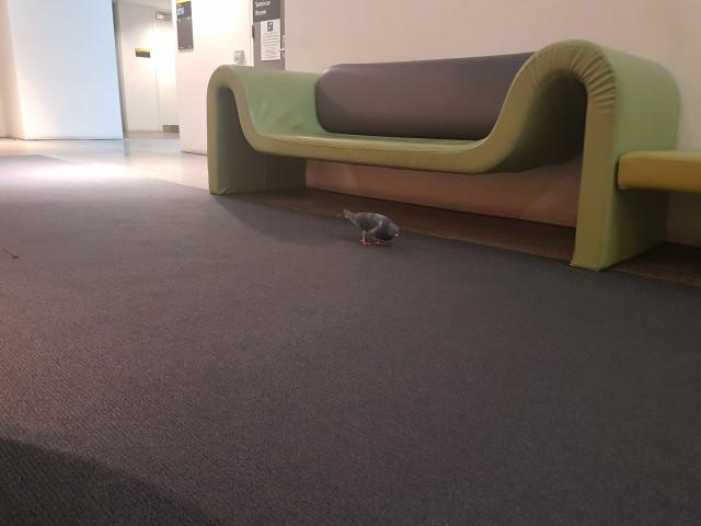 Hello pigeon!